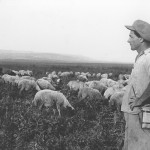 Flock av får
